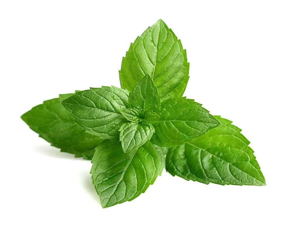 peppermint-vietnamese-herb