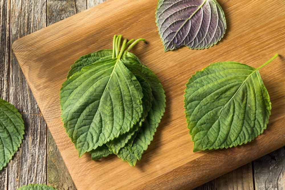 perilla-vietnamese-herb