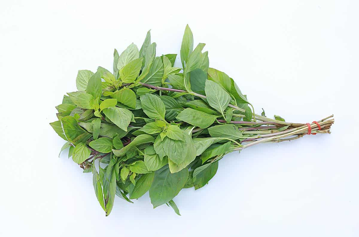 thai basil for asian food
